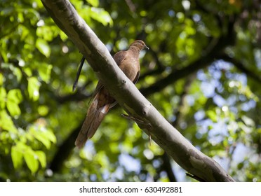 Brown cuckoo Dove, Medium sized brown bird its on a branch in tree canopy.