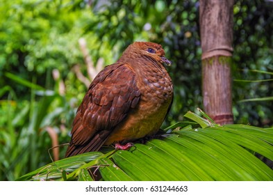 The Brown Cuckoo-Dove is a large brown pigeon also known as the Brown, Pheasant or Large-tailed Pigeon that lives in the rainforest's of Australia