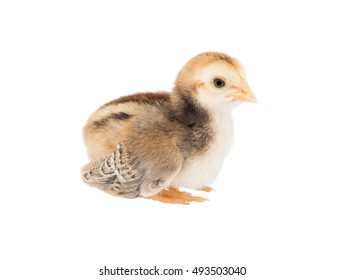 Brown Cute chicks  on white