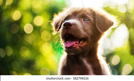 brown cute happy puppy look up with sunset bokeh abstract background. nova scotia duck tolling retriever. Head shot of Adorable smile dog at green spring tree leaf in meadow with copy space for text.