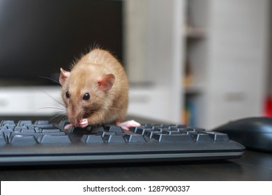 A brown cute rat is sitting on a computer keyboard next to a computer mouse on a black wooden table.