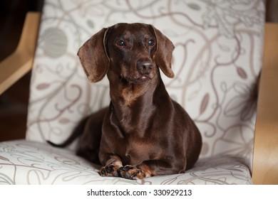 The brown dachshund lies in a chair