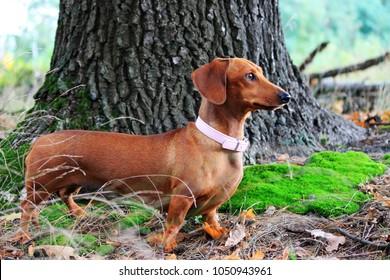 brown dachshund miniature