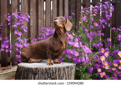 The brown dachshund sits on a tree stub