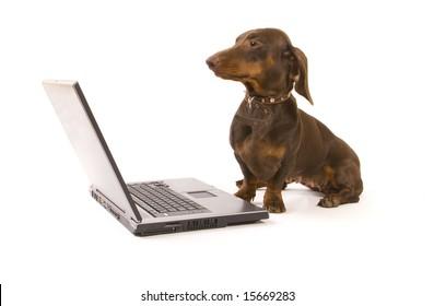 Brown dachshund working on laptop on white ground