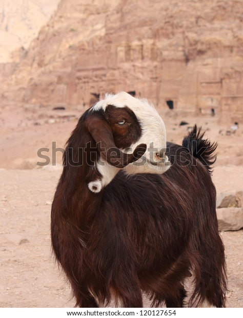 Brown Damascus Goat Near Ruins City Stock Photo (Edit Now