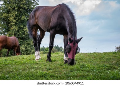 A brown or dark bay horse with white fetlocks wearing a fly mask and grazing in a grass meadow.