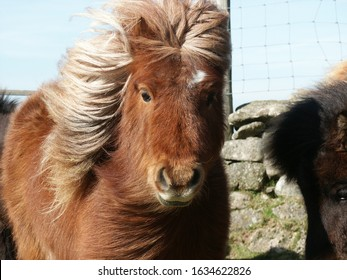 Brown Dartmoor pony with mane blowing in wind