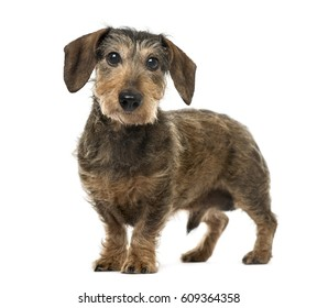 Brown Daschund standing, 11 years old , isolated on white