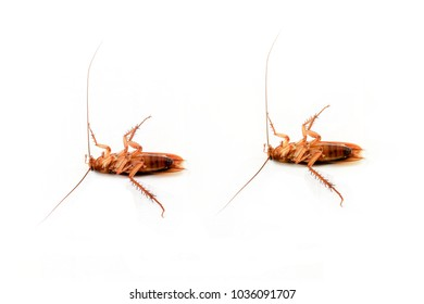 The brown dead cockroach isolated on white background.