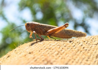 brown dead locusts broken legs, grasshopper macro insect bug close up, wild animal migrating locust body invertebrate wallpaper background zoology biology - Shutterstock ID 1791103094