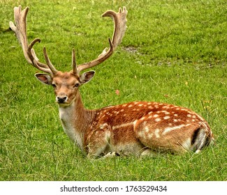 Brown Dear Laying on Grass Field