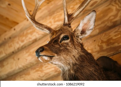 Brown deer head on wooden wall background. Animals draft or trophy decorative object. Taxidermy concept