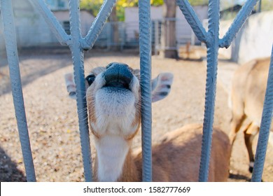 Brown deer stands near a gray metal fence, close-up, front view. The deer stuck its face into the fence and opened its mouth. An animal in the background of the household yard. Autumn sunny day.