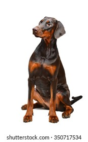 Brown doberman on the white background