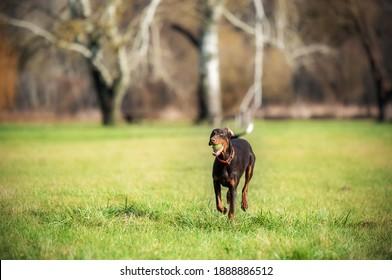 Brown Doberman Pinscher with ball running on the field