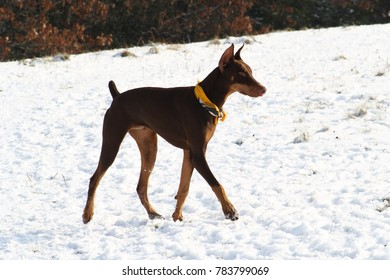 Brown doberman pinscher walking on snow