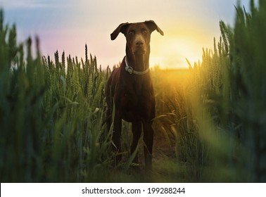 brown doberman pinscherd dog in field at sunset
