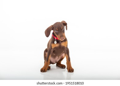 Brown Doberman puppy in photo studio and white background