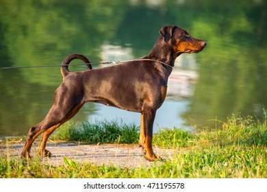 Brown doberman stands in the rack on summer background