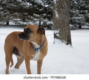 Brown dog with a blue collar outside in the snow.