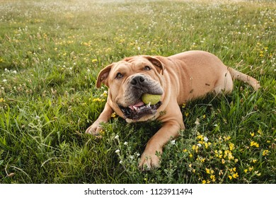 Brown dog cane corso lies in a field on the green grass