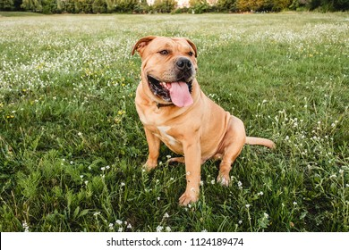 A brown dog cane corso sits in a field on the green grass