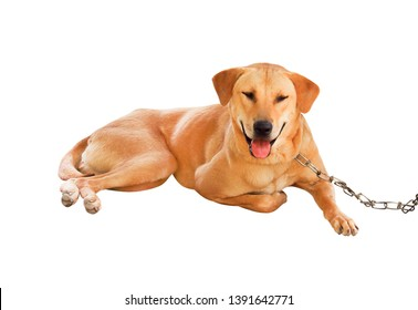 Brown dog with chain isolated on white background , happy face with tounge lying and clipping path