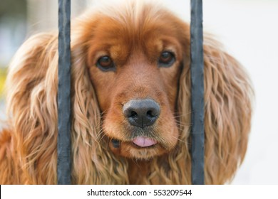 Brown dog cocker spaniel behind a black wrought iron fence