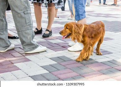 Brown dog is  cocker spaniel on  streets of city near their masters. Dog is walkin  city park