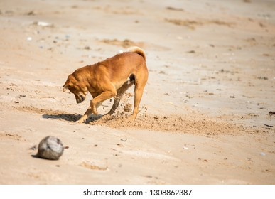 Brown dog is dig sand on the beach, Thailand