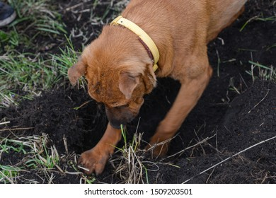 The brown dog diging the ground
