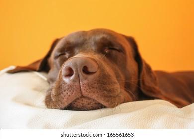 Brown dog dreaming