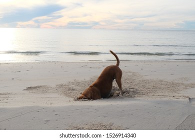 The brown dog is finding food in the hole of sandy beach