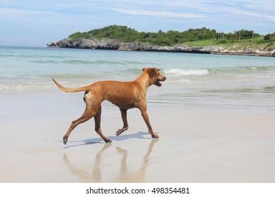 Brown Dog is a fun romp on the beach, Brown Dog running on the beach having fun.