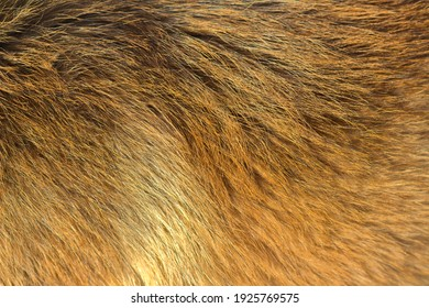 Brown dog fur for background. Belgian shepherd malinois fur