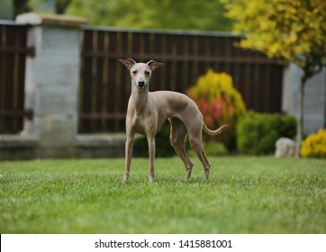 Brown dog Italian greyhound standing in garden with green grass and wooden fence in background