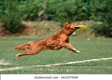 The brown dog in the jump catches the frisbee