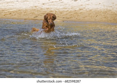 The brown dog jumps in river in summer.
