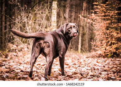 Imágenes, fotos de stock y vectores sobre Labrador Lick