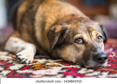A brown dog lies on an oriental rug, staring up and raising eyebrows expressively