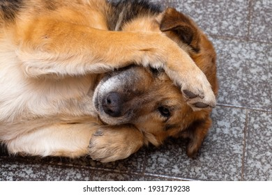 A brown dog lies in a room on the floor and closes his eyes with his paws. The concept of shame