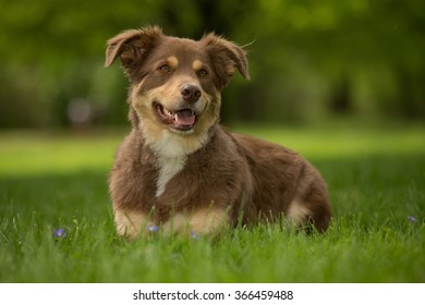 Brown dog lying down watching for owner