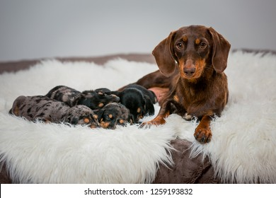A brown dog mom lies near little puppys. Puppies of a dachshund breed of brown and black are sleeping at the mom.