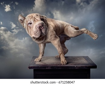 A brown dog, Neapolitan Mastiff, stretches out its back leg. Background - grey clouds.