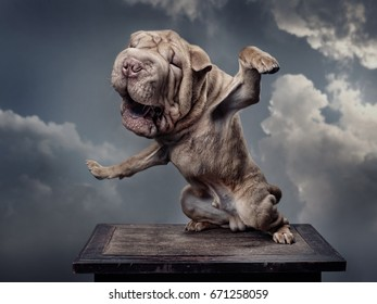 A brown dog, Neapolitan Mastiff, stretches itself, front legs apart, eyes closed mouth opened, yawns. Background - grey clouds.