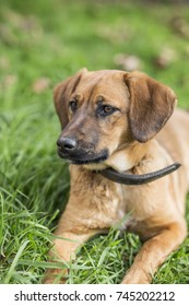 Brown dog with necklace lies in the grass and focuses his view at something