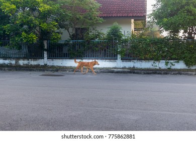 The Brown dog on the street in the morning.,Brown dog cute standing on the street in the morning. thailand