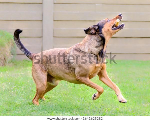 Brown dog playing with bone, jumping around