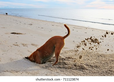 The brown dog playing on the beach.They are digging a hole of the crab